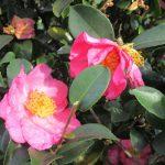 七十二候は「山茶始開」に。早咲きの白やピンクは、東京でも10月下旬からひっそりと。東北では、赤いのちらほら咲き始め…。東京でもあと少し?/旧暦9/20・己亥