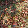 七十二候は「地始凍」に。暦は、大地が凍り始める頃と言うが、東京の地面はやっと草紅葉…もどき?/11/12=旧9/24・癸卯