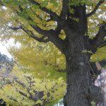 七十二候が「閉塞成冬」の東京は青空の日々。そして、銀杏の黄葉も終盤で、紅葉狩りもこれで最後。/旧暦10/22・庚午