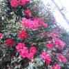 いまごろ、いきなり咲きまくる紅い山茶花。やっぱ、あなたが「THE山茶花」だよねぇと褒めたたえたい咲きっぷり/旧暦10/24・壬申
