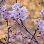 東京の桜花見は、実は始まっている? 上野の冬桜・十月桜が密かに静かに咲き誇ってます🌸。/旧暦10/28・丙子