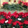 今年も聖夜に向かって「猩々木」と「篝火花」の赤・紅・ピンク…が街中を彩ってます。なんだかわかる?/旧暦10/29・丁丑
