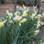 七十二候は「乃東生」に。「乃東」=「靫草(うつぼぐさ)」の芽吹きの頃だそう。うーん、見たことない。が、暦がそう言えば「水仙」満開!/旧暦11/8・丙戌
