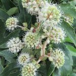 冬を色ではなくてカタチで彩る「八手の花」。ひとつ気づけば、あららっ!もう街を席巻する勢いで咲いています。/旧暦10/17・乙丑