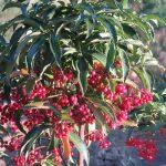 紅い実が各所で実り、となるとXmasを横目に、植物界も歳迎えの準備かな?/旧暦10/27・乙亥