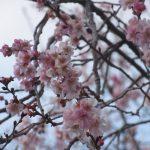 明日「小正月」で、今日は「十四日年越し」。「繭玉」「餅花」などを飾って迎える代わりか、今年は「冬桜」満開!/旧暦11/28・丙午