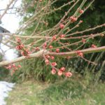 七十二候は「雪下出麦」に。雪降り積む下にも麦の芽吹きの頃。雪景色の東北の街も梅や椿の蕾が膨らんでいます。/旧暦11/17・乙未