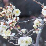 暦は「東風解凍」で、風もひそかに「南南東」とか吹き始め…(*'▽')。いよいよ「梅まつり」スタートしてますっ!/旧暦12/21・己巳