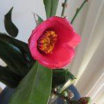 東北から携えてきた藪椿が部屋で咲く。となると、やっぱ小石川植物園の「椿観察」に行きたくなるよね😊/旧暦1/6・甲申