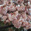 いよいよ「寒桜」も咲く。寒い寒いといっても、上野公園には春便りが届いてますね。/旧暦12/27・乙亥