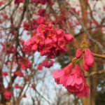 2018年桜リレーは「寒緋桜」にバトンが渡りましたっ!「冬桜」⇒「寒桜」⇒「寒緋桜」の次はいよいよ、あの桜の開花宣言🌸。/旧暦1/26・甲辰