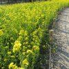 七十二候は「菜虫化蝶」に。そんな暦のコトバに誘われ、菜の花畑に行ってきました。…ちょっと意味取り違えだけど😊。/旧暦1/29・丁未
