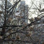 七十二候は「雀始巣」に。実は、近頃、街では見かけなった気が…。いや、いるとこにはいますね雀。/旧暦2/7・甲寅