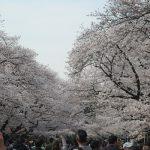 花冷えとはいえ、おかげで今年の桜は花の頃が長くて(´▽`) ホッ。満を持して「上野公園桜図鑑 Ⅱ」いってみますっ🌸/旧暦2/27・己巳