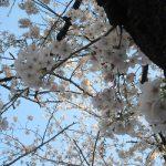 七十二候は「櫻始開」に。といっても東京は「始」より「華」の文字が似合いそうな、染井吉野の満開の日々です。/旧暦2/11・戊午