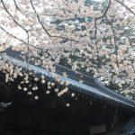 我流の花見は、早朝の桜見物。ただひたすら、桜を点々と独り占めしつつ追ってゆきます。/旧暦2/13・庚申