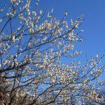 ココが桃源郷かと思う場所へ。っても「桃」じゃなくて「梅」だけど。梅花見 in 小石川植物園。/旧暦1/18・丙申