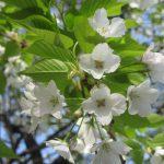 上野恩賜公園には、染井吉野含めて桜が52種!!と知れば探すね。まずは7種!!今一押しは大島桜。ああ、全部見たい😊。/旧暦2/14・辛酉