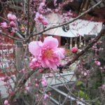 七十二候は「桃始笑」に。となれば、今日はとっておきの桃花スポットへ行かなくちゃ!あるの?あるよ😊。/旧暦1/25・癸卯