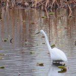 七十二候は「鴻雁北」に。東京には雁来たらずで、代わりに不忍池の水鳥観察に暮れる、楽しいっ(*'∀')。/4/11=旧2/26・癸酉