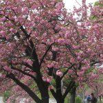 桜リレーは、八重桜ゴールで、2018年も終了(:_;)。思い出取り出し、今年の桜を総括('∀')。/旧暦2/28・乙亥