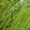 今日は、二十四節気の「清明」です。ああ、もうそんな日々?なにやら緑が瑞々しいはずだ。/旧暦2/20・丁卯