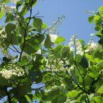 「穀雨」の日々に、谷中の天王寺にある沙羅双樹が開花。思いこがれ、やっと花に出逢いましたっ😊。/旧暦3/7・甲申