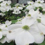 夏近づけば、愛でて涼をとりたい「白い花」。どれだけある?けっこうたくさん(´▽`) 。が、花の頃はやっぱ早っ(◎_◎;)。/旧暦3/13・庚寅