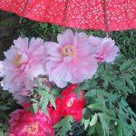 七十二候は「牡丹華」に。今年はもう牡丹はなぁ…いや、上野東照宮ぼたん苑では華やいでますっ!/旧暦3/15・壬辰