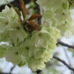 ええっ?ライトグリーンの「鬱金桜」がもう咲いたって?!本来なら来週あたりかと…ああ、そりゃ、観に行かなくちゃっ!/旧暦2/22・己巳