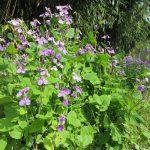 あららっ!これは「紫菜花」さん? これが咲いたらもう初夏気分なんだが…早くない?早すぎだよね??/旧暦2/19・丙寅