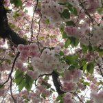 八重桜も咲き誇りまくり、桜リレーもゴール直前になりました。また来春会おうねっ😊。/旧暦2/25・壬申