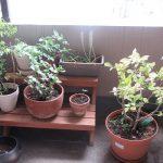 今日は、「春土用入り」。土用の日々は土いじりは禁忌とかで、昨日、鉢の植え替えいたしました。/旧暦3/2・己卯