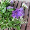 東北からの帰京土産。初夏の母の庭から青花と白花を。/旧暦3/24・辛丑