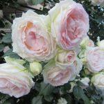 バラの季節は、個人的に好きな木香薔薇&野茨…はとっくに終わって、大輪系の季節到来。早っ(◎_◎;)/旧暦3/29・丙午