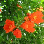 ああこいつも夏告げの花。「柘榴」の花も満開を迎えつつ、夏を待つ。/旧暦4/10・丙辰