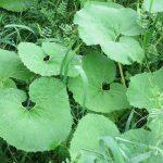 七十二候は「蛙始鳴」に。確かに草むらでは蛙が鳴きます…が、姿は見せず…うーん、残念😞。/旧暦3/20・戊戌