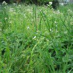 東北の街の雑草観察。暦が「立夏」を過ぎて雑草も夏めいてます。/旧暦3/22・己亥