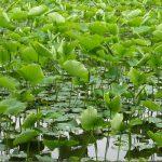 上野へ所用なら、地下鉄で湯島⇒不忍池経由⇒上野。美しき初夏の不忍池を愛でるのである。/旧暦3/28・乙巳