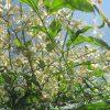 二十四節気は「芒種」へ。そこに似合いの「梅雨の七草」..じゃなく「七樹」なら雑穀のように咲くこれだ!/旧暦4/23・己巳
