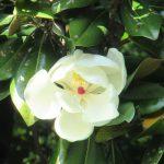 この大ぶりな花も梅雨の時期に咲き、ほのかな香りを残す。「泰山木 (たいさんぼく)」も今が盛り。/旧暦5/2・戊寅