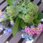 あっという間に帰京。母の庭からお土産は?紫陽花とこのぐるぐるもしゃもしゃです。/旧暦5/13・己丑