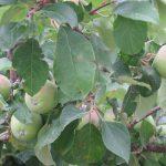 ただいま東北帰省中2。りんごに桃に…、結局、各種実り眺めて楽んでるし(#^^#)。/旧暦5/11・丁亥