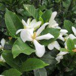 今日は暦の上での「入梅」。暦公認の梅雨入りとなれば、白き香り良き「くちなし」満開。/旧暦4/28・甲戌