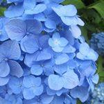 紫陽花も早々に満開だっ!眺めて、こっそり花の重みを量って…。そうだ今年は七草ならず「梅雨の七樹」を数えてみようか!/旧暦4/22・戊辰