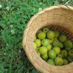 東北の街では、梅の収穫。そして、東北の街でも梅シゴトです。今度は梅干しを途中まで😊。/旧暦5/12・戊子