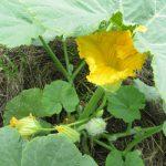 七十二候は「乃東枯」に。「夏枯草」が咲くころと暦が言えば、東北の畑は夏野菜の花が咲く。/旧暦5/9・乙酉
