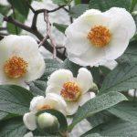 梅雨入りしたと思ったら「夏椿」が存在感を増す。となると鷗外の庭の沙羅の樹こと「夏椿」にも逢いに行かねば😊。/旧暦4/26・壬申