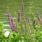 「禊萩(みそはぎ)」咲いて、東京の新暦盆近し。別名「盆花」あるいは「精霊花」ってドンピシャなのも意味あってのコト。/旧暦5/28・甲辰