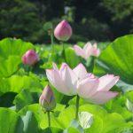 台風一過の前に、蓮花の鑑賞。上野仕様の七十二候があるなら、今は「蓮花栄」と今年も思った次第(*'∀')/旧暦6/16・辛酉